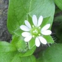 タネツケバナ(種付け花)・ハコベ(繁縷)