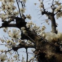 東京都東村山市近郊2017年の春・・白モクレン