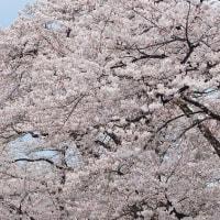赤城千本桜2017