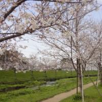 熊本の桜 ( ̄≠ ̄)