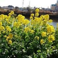 『菜の花』