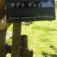 江南のフラワーパークに、ギヨイコウ桜見に行ってきました