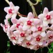 真夏にサクラ(のような花)が咲きました!・・・ホヤ(サクララン)