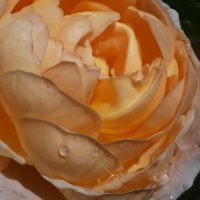 『秋のバラ』 タモラ