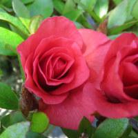 薔薇のような皐月