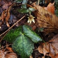 早春の花がそこかしこに・・ユキワリイチゲ