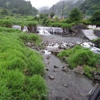 長者川を覆う「ヨシ」