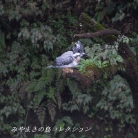 今日の鳥コレクション・・・ヤマセミ