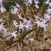 スイセン&チオノドクサ(小庭の花)・・・