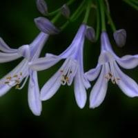 わが庭・・・コンカドールが咲いている