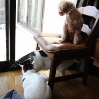 白猫さんに吠えて叱られたモモ