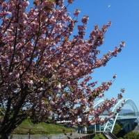 桜吹雪と西海橋が絶景でした・・・