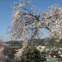 兼六園 桜満開