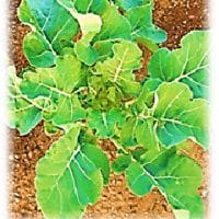 再播種 ブロッコリー の 生長
