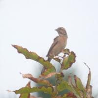 10/22探鳥記録写真(芦屋町の鳥たち:アトリ、コサメビタキ他)