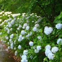 雨に濡れた紫陽花(北公園)