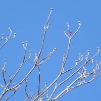 ハナミズキ(花水木)の花芽