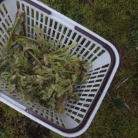 タラの芽収穫
