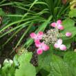 パンセの庭で咲いている山紫陽花、紅