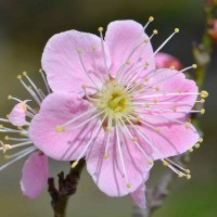 鉢植の花梅(6)~桃色一重
