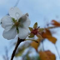 雨粒と四季桜