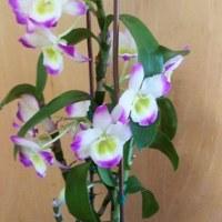 3月25日 ランの開花と植え替え