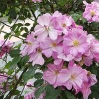 我が家の庭から~つるバラ~