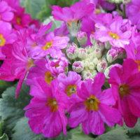 春を呼ぶ桜草