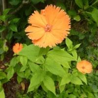 本・百歳は次のスタートラインと夏椿と紫陽花と庭の花