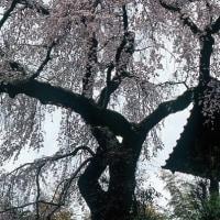 地蔵禅院の枝垂れ桜