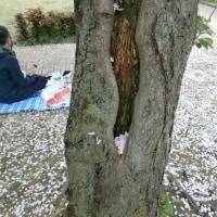 NPO活動の福岡市小学校区の総合安全調査のなかで出会った痛ましい街区公園の桜の木