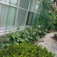 古賀市「グリーンカーテンの匠」事業のささげのつるが伸び始めています