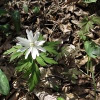 鶴岡高館山の早春の花 7-6 キクザキイチゲ、ニリンソウ