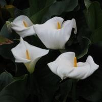 カラーの咲くころ