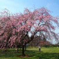 2017 桜の季節