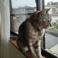 ~~~  全米を旅する猫…ビルマ  ~~~