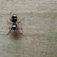 個体識別が可能な程色彩変異のあるオビハエトリグモの一種(カラオビハエトリ)