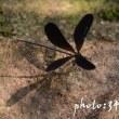 羽黒トンボ