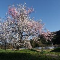 3色の桜&コンビニ引換3・4月分