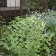 白い清楚な星形の花 ミツバシモツケ
