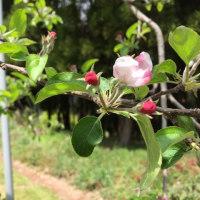 いよいよりんごの花が咲き始め、ミツバチも待機しています