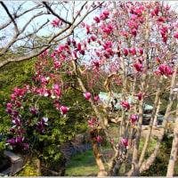 龍宝寺の木蓮