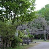 和気【藤公園】の藤の花の開花状況(04/28)