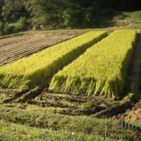 久し振りに晴天で稲刈りをしました