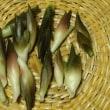 ミョウガ収穫