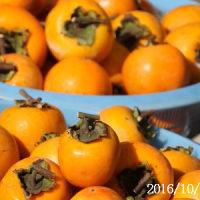 干し柿つくり 2016