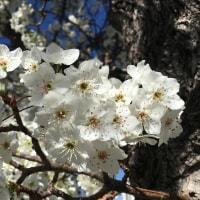 ペアブロッサムの花