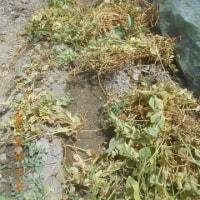 キヌサヤ スナップエンドウの畝を片づけました