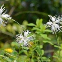 白花タカネナデシコ