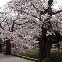 桜花見(3)~柿川沿いの桜並木